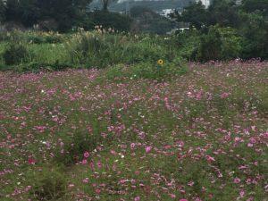 北中城村荻道のコスモス畑
