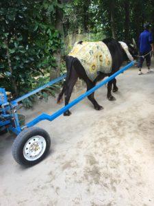 備瀬のフクギ並木の牛車!