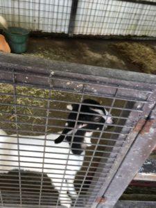 ミニミニ動物園の産まれたての子ヤギ