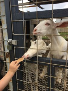 残波岬公園のヤギへ餌を与える