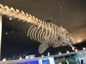 マッコウクジラの標本