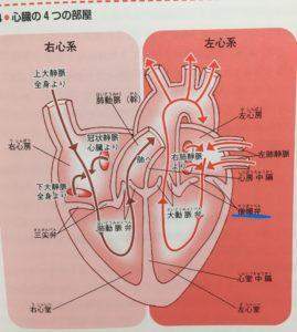 心臓病の原因となっているる僧帽弁