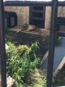 こどもの国でライオンを観察