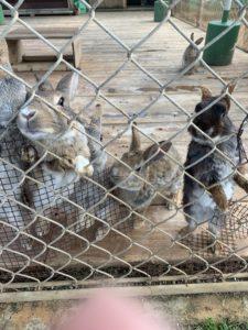 伊計島のホテルのウサギたち