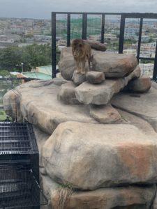 沖縄こどもの国のライオン舎