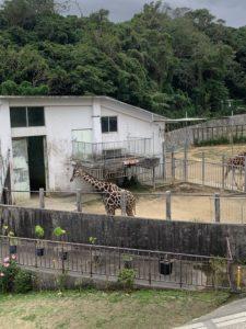 沖縄こどもの国のキリン