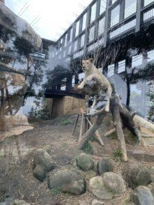 沖縄こどもの国のライオン舎のライオン
