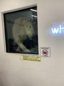 ライオン舎のライオンに接近